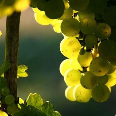 Entre vignes et murailles - Banyuls